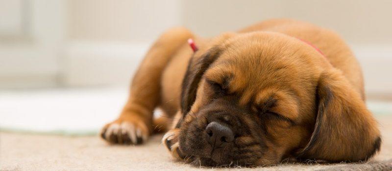 Hundars sömn